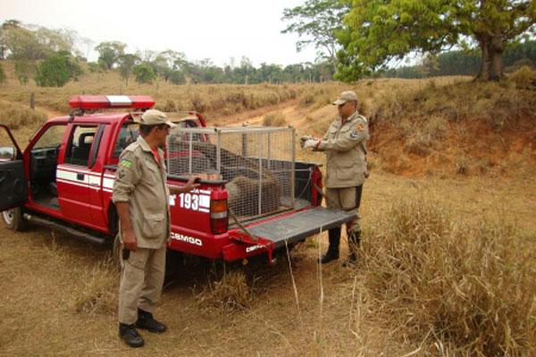 Bombeiros Militares de Inhumas resgatam um tamanduá bandeira