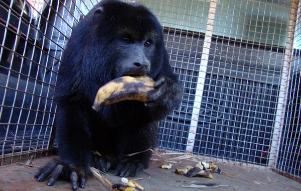 Bombeiros de Inhumas resgatam macaco Guariba